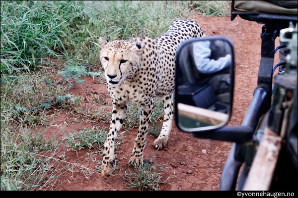 cheeta-car