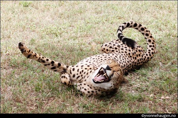 cheeta-laugh