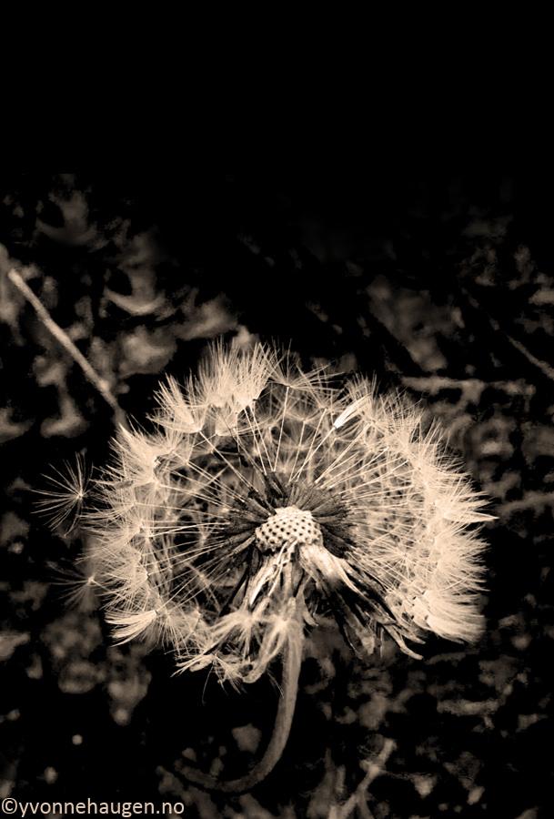 dandelion sepia