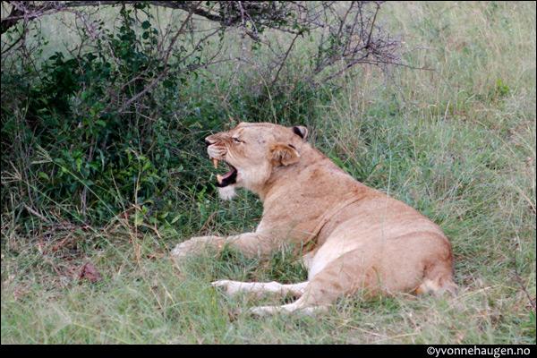 lion-esse