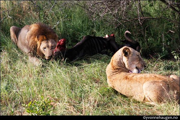 lions-feeding